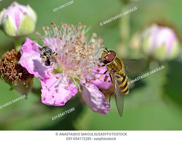 The Syrphini are a tribe of hoverflies, Greece