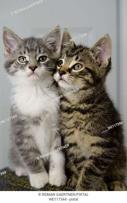 Brother and sister weaned kittens cheek to cheek on a stool