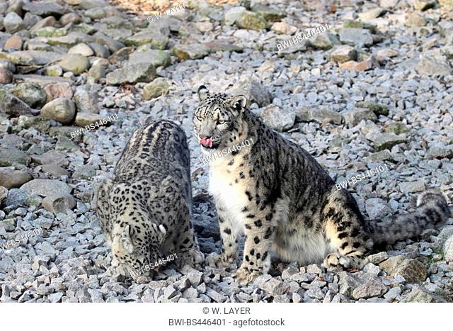 snow leopard (Uncia uncia, Panthera uncia), two snow leopards on stones, Asia