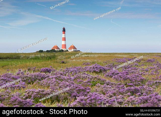 Westerhever lighthouse with blooming Sea-lavender (Limonium vulgare). Wadden Sea National Park, North Frisia, Schleswig-Holstein, Germany