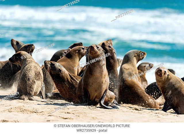 Namibia, Erongo, Walvis Bay, seals on the beach, seal