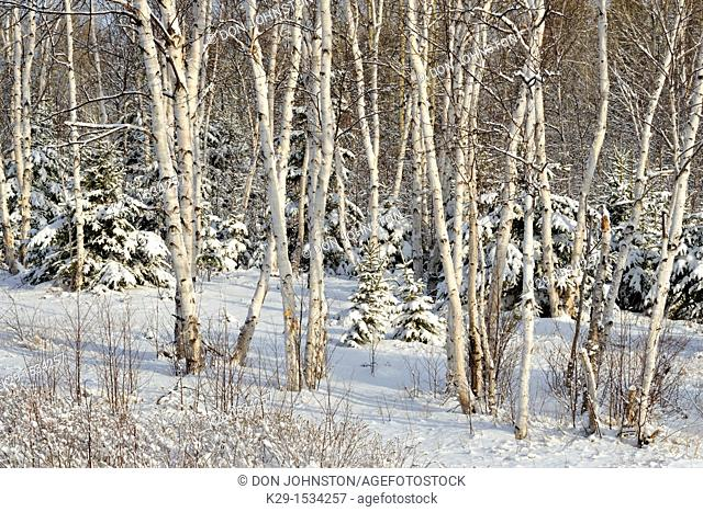 Birch trees laden with snow after a spring blizzard Lively, Ontario, Canada