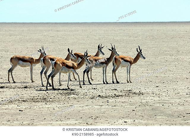 Springbocks, Antidorcas marsupialis, standing in the wide plains of the dry Etosha Pan, Etosha National Park, Namibia, Africa