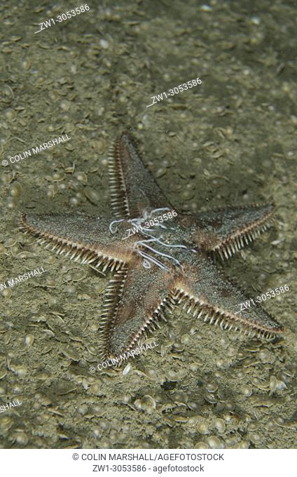 Spawning nocturnal Sea Star (Astropecten sp. ), Night dive, Tasi Tolu dive site, Dili, East Timor (Timor Leste)
