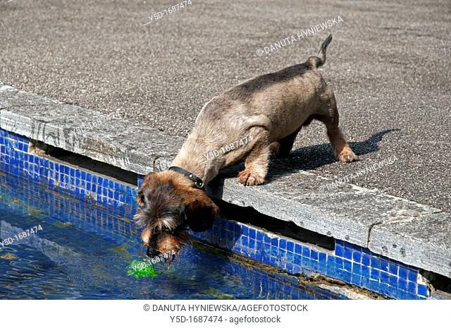 wirehaired dachshund just after haircut, trying to get a toy ball from the swimming pool