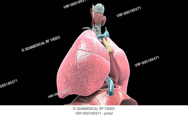 Animation depicting a rotation around the respiratory system followed by a zoom through the trachea and into the alveoli
