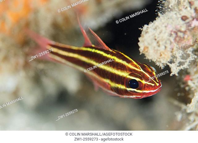 Blackstripe Cardinalfish (Ostorhinchus nigrofasciatus), Aw Shucks dive site, Lembeh Straits, Sulawesi, Indonesia