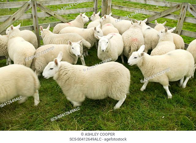 Sheep in a pen near Stoer in Assynt Scotland UK