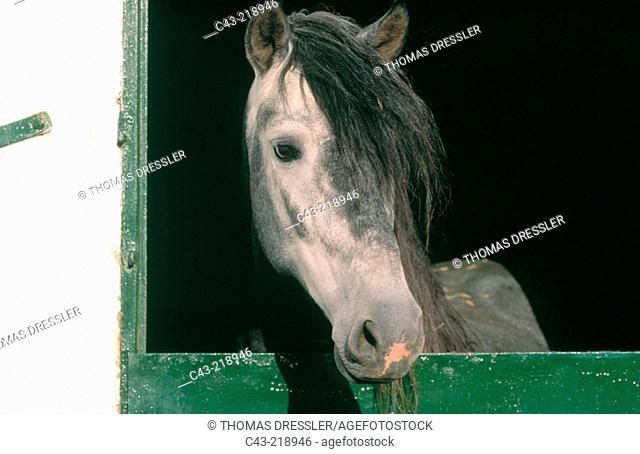Spanish Carthusian horse at his stable on a farm near Jerez de la Frontera. Cádiz province. Andalusia. Spain