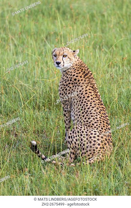 Cheetah sitting down on the savanna turning towards camera, Masai Mara, Kenya, Africa