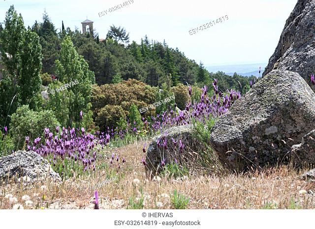 Flowers of Spanish lavender, Lavandula stoechas. Photo taken in Guadarrama Mountains, La Cabrera, Madrid, Spain