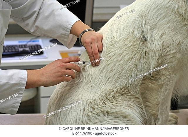 Vet injecting White Swiss Shepherd