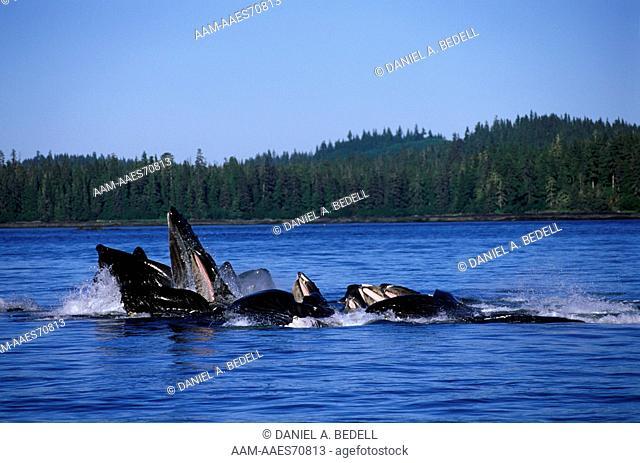Humpback Whales Feeding (Megaptera novaeangliae), Southeast Alaska