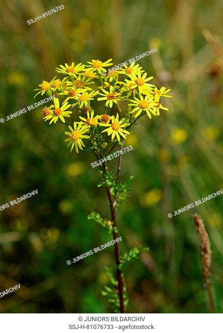 Common Ragwort, Jacobea, Staggerwort (Senecio jacobaea) flowering. Germany