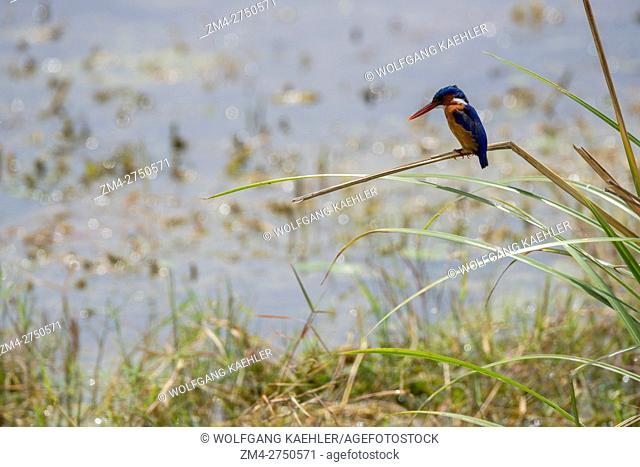 A Malachite kingfisher (Corythornis cristatus) is perched on a reed in a swamp in Amboseli National Park, Kenya