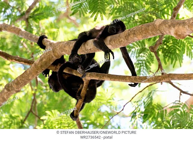 Costa Rica, Guanacaste, Coco, howler monkeys (Alouatta) are a primate genus from the family atelids (Atelidae)