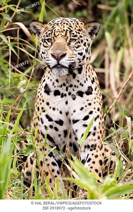 Jaguar (Panthera onca) Pantanal, Brazil