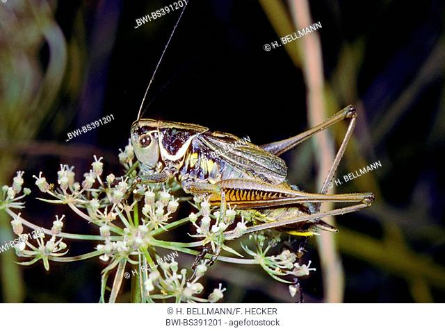 Roesel's bushcricket (Metrioptera roeselii), male on influrescence, Germany