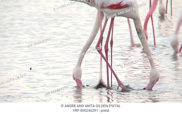 Greater Flamingo foraging in estuary of Camarque, France, Europe