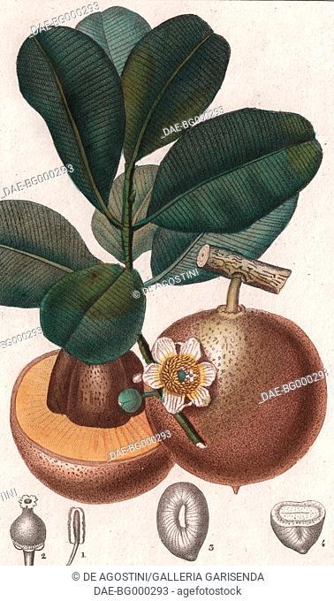 Mammee apple (Mammea americana), colour copper engraving, retouched in watercolour, 9x15 cm, from Dizionario delle scienze naturali compilato da vari professori...