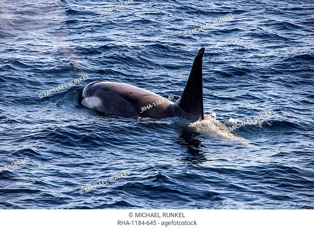 Killer whale (orca) (Orcinus orca), Weddell, Sea, Antarctica, Polar Regions