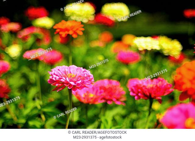 Soft-focus zinnias make a scene awash in color, Pennsylvania, USA
