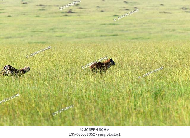 Cheetah chasing Spotted Hyena through high grasslands of Masai Mara near Little Governors camp in Kenya, Africa