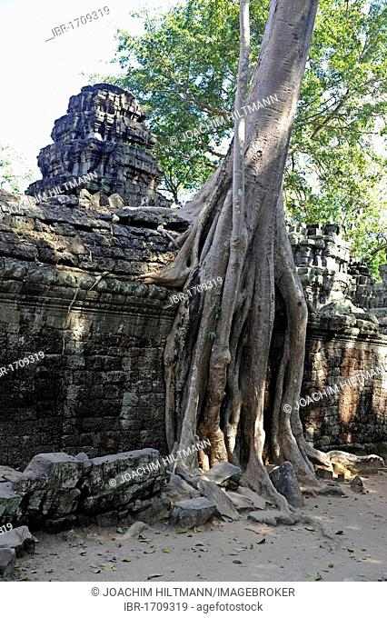 Roots of a Tetrameles nudiflora tree overgrowning the ruins of Ta Prohm, Angkor, UNESCO World Heritage Site, Siem Reap, Cambodia, Southeast Asia, Asia