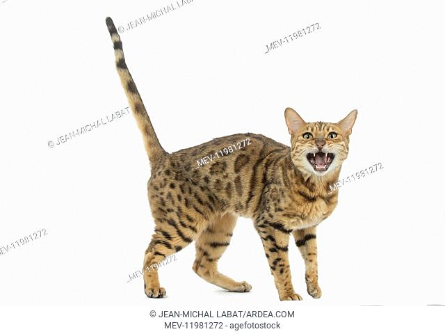 Bengal Cat, mouth open