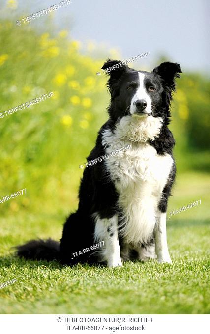 sitting Border Collie