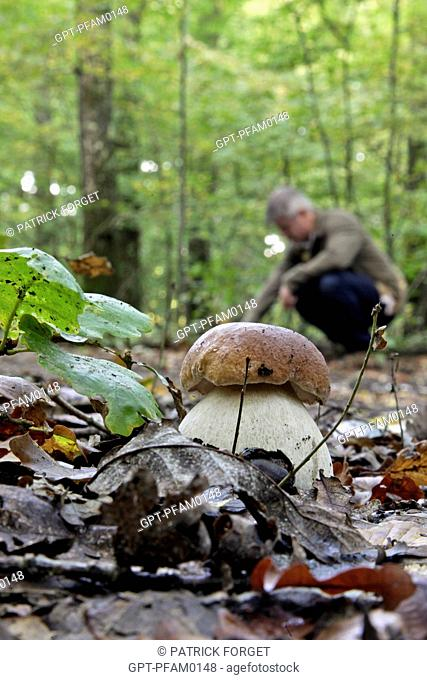 GATHERING MUSHROOMS, SMALL CEP PORCINI OR BOLETUS MUSHROOM ALSO CALLED CHAMPAGNE CORK IN FRENCH, SENONCHES FOREST, EURE-ET-LOIR 28, FRANCE