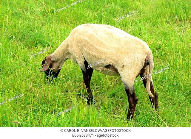 Freshly sheared sheep in pasture in Hoensbroek