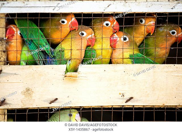 Lovebirds at a local bird market ready for shipment to pet stores  The Fischer's Lovebird Agapornis fischeri is a small parrot species of the Lovebird genus...