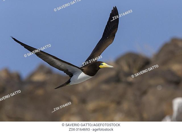 Brown Booby, adult, flight, Raso, Cape Verde (Sula leucogaster)
