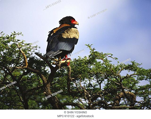 Bateleur Eagle Terathopius ecaudatus, perching in tree, Botswana