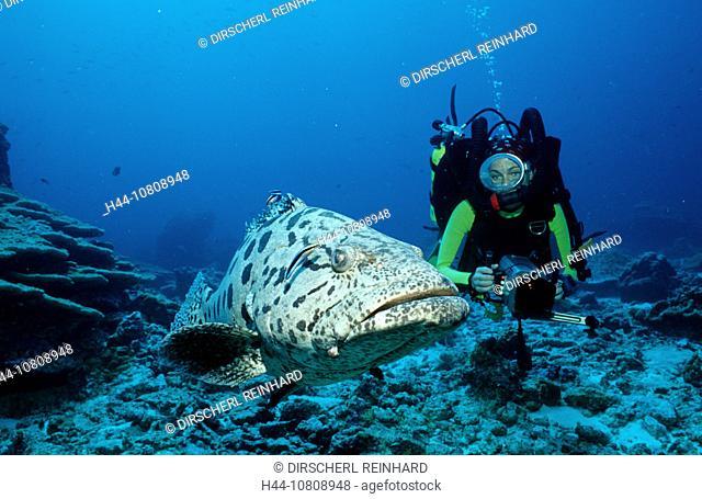 action, adventure, Andaman sea, big fish, Birma, Burma, coral reef, diving, Epinephelus tukula, fishes, holiday, hol