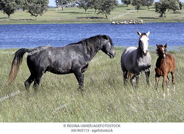 Arabic Horses, stallion, mare and foal on meadow, region of Alentejo, Portugal