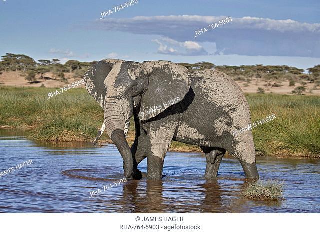 African Elephant (Loxodonta africana), male, Ngorongoro Conservation Area, Tanzania, East Africa, Africa