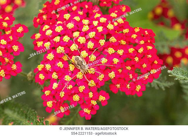 A Harvestman, or Daddy Long Legs, on a red Yarrow 'Achillea Paprika.'