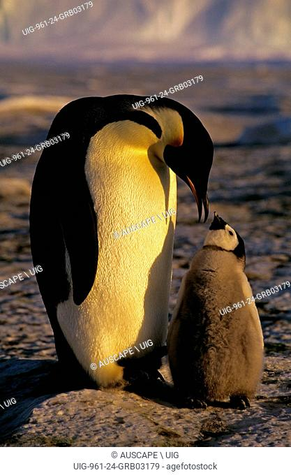 Emperor penguin, Aptenodytes forsteri, parent and chick, Cape Roget, Ross Sea, Antarctica. (Photo by: Auscape/UIG)
