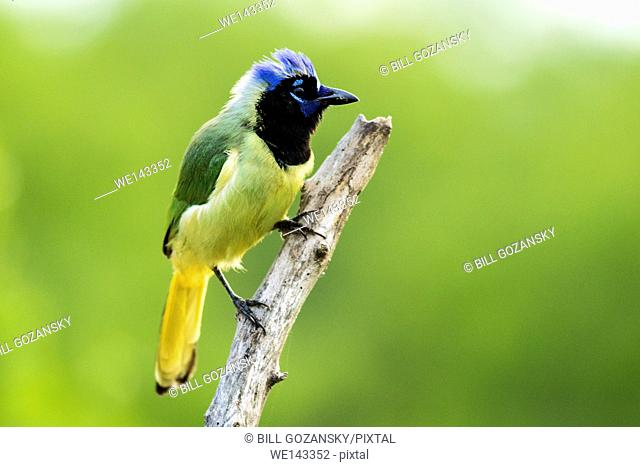 Green Jay (Cyanocorax yncas) - Camp Lula Sams, Brownsville, Texas USA