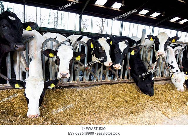 cows in a farm. Dairy cows in a farm