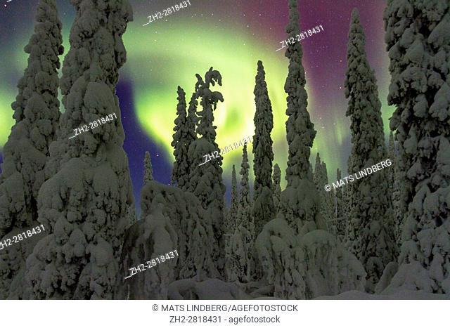 Northern light, Aurora borealis, over forest in winter season, plenty of snow hanging on the trees, Gällivare, Swedish Lapland, Sweden