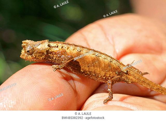 Laraka River Leaf Chameleon (Brookesia spec.), is sitting on the hand, Madagascar, Ranomafana National Park