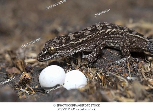 Hemidactylus satarensis, Gecko, Satara, Maharashtra, India