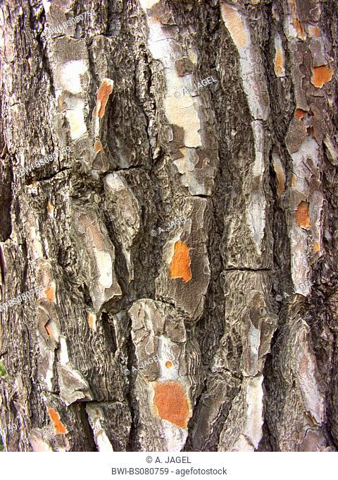 aleppo pine (Pinus halepensis), bark, Spain, Balearen, Majorca