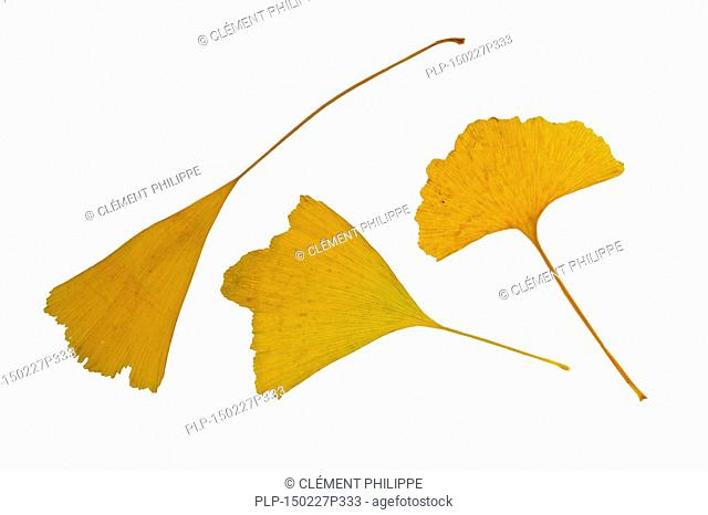 Ginkgo / Maidenhair tree (Ginkgo biloba) leaves in autumn colours, native to China against white background