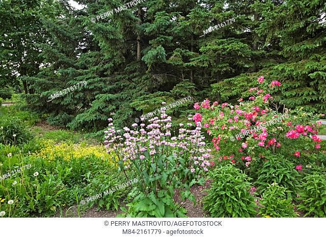 Garden border with mauve monardas (Monarda) and pink rosebush (Rosa) flowers on front of fir (Pseudotsuga) trees at springtime