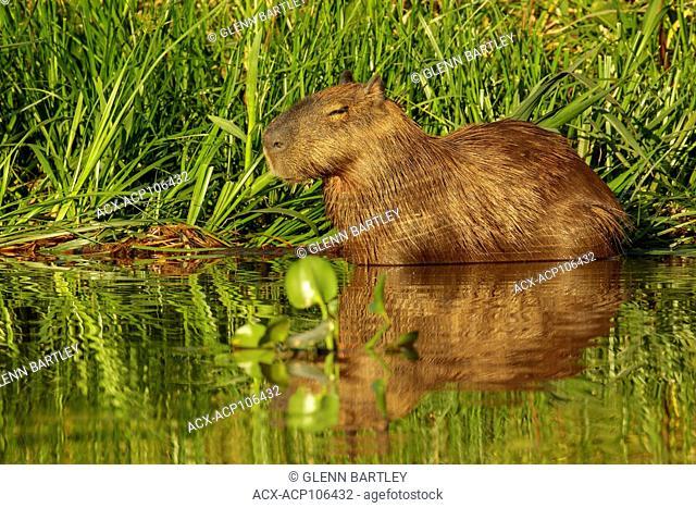 Capybara feeding in a wetland area in the Pantanal region of Brazil