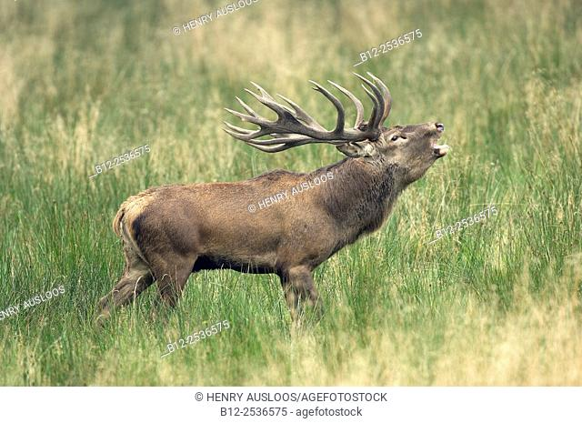 Red deer roaring, Denmark, Cervus elaphus